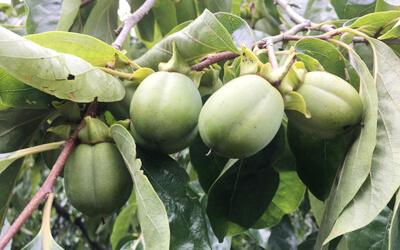木に実る西条柿の渋柿