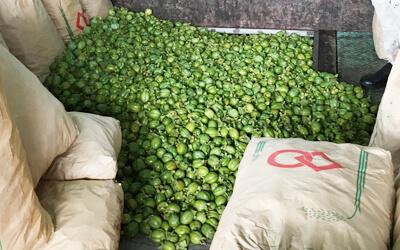 収穫された渋柿