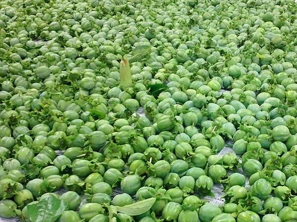 収穫された沢山の渋柿