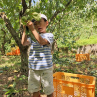 渋柿を収穫する少年