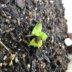 2代目の綿の芽