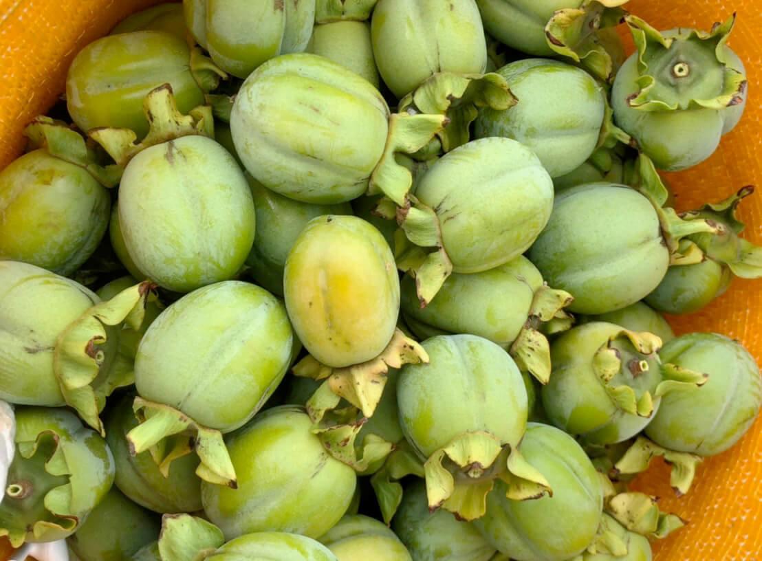 八頭町西条柿の渋柿摘果で汗だく!