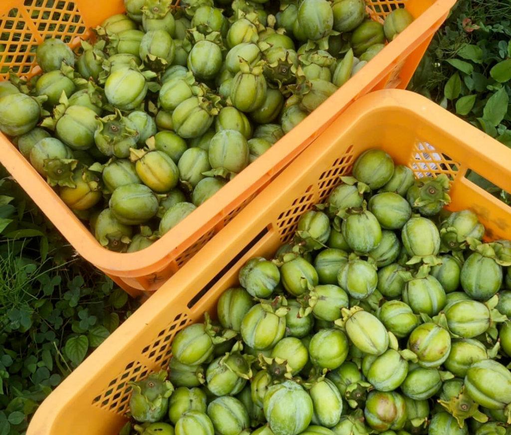 カゴにたくさん入った渋柿