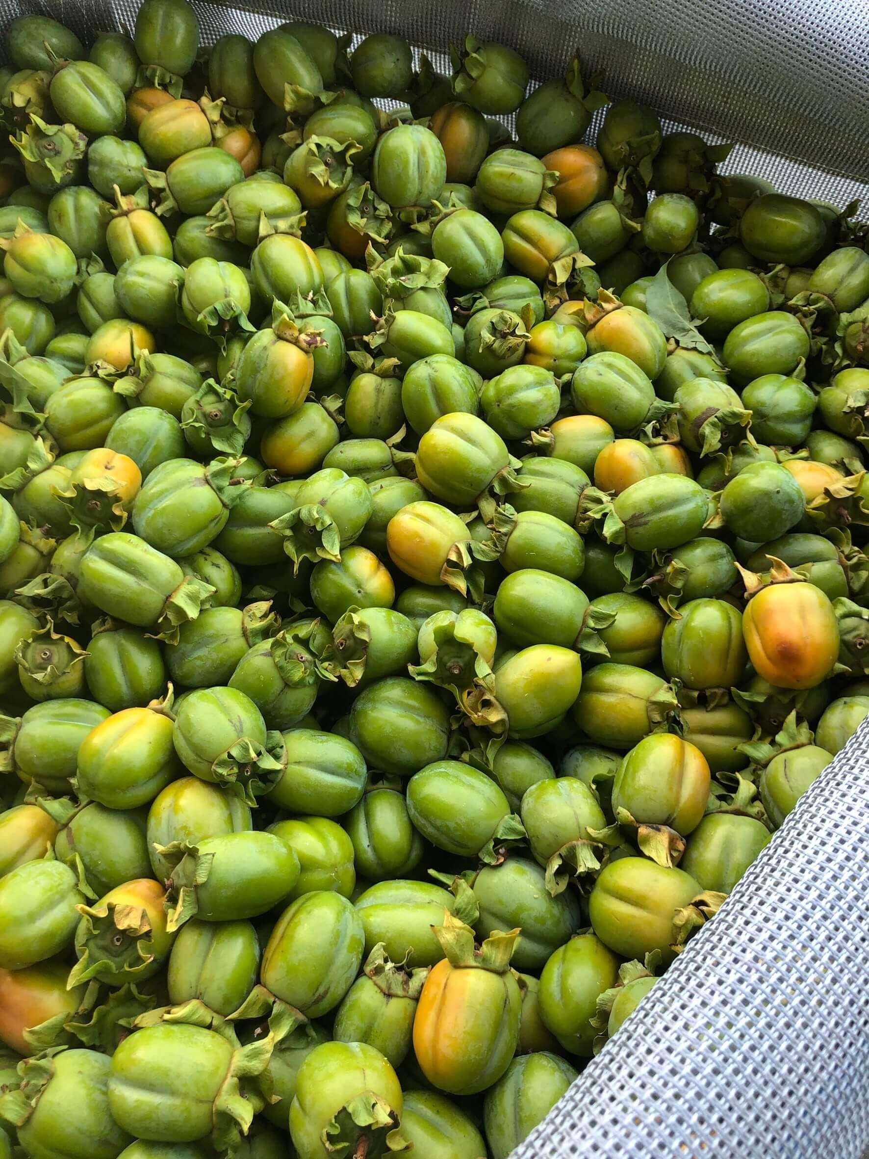 袋いっぱいの西条柿渋柿