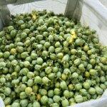 コンテナ袋に集められた渋柿